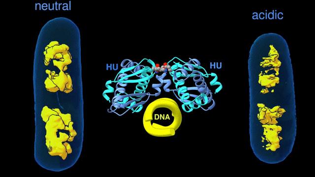 DNA-binding protein HU
