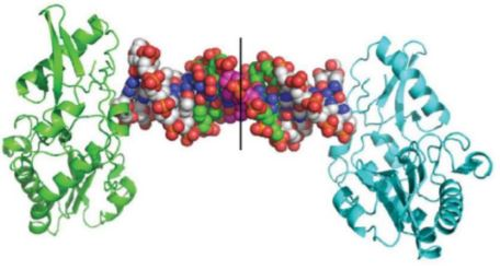 crystal structure of a 16-mer Hachimoji DNA comprising Z:P pairs in green and S:B pairs in magenta