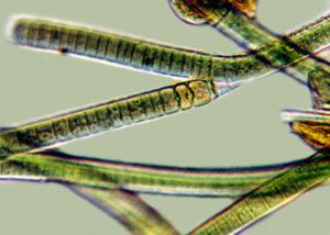 Filamentous blue-green algae